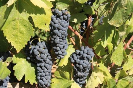 Vitis vinifera 'Black Alicante'
