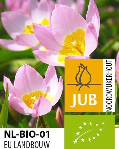 Tulipa bakeri 'Lilac Wonder' biologisch