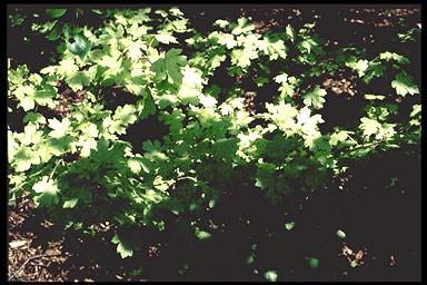 Acer campestre 'Pulverulentum'