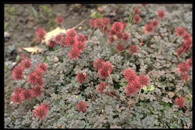 Acaena microphyllus 'Kupferteppich'
