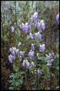 Aconitum cammarum 'Bicolor'