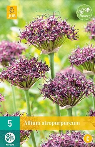 Allium atropurpureum