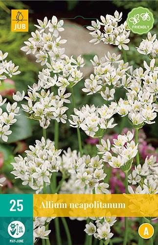 Allium neapolitanum