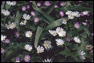 Anemona blanda 'Charmer'