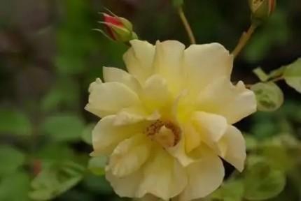 Rosa  'Autumn Sunset'