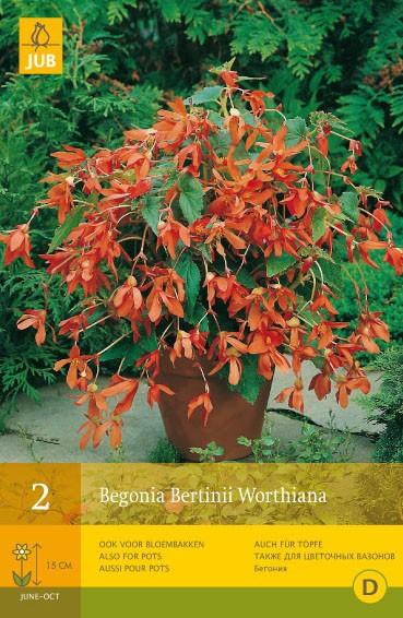 Begonia Bertinii Worthiana