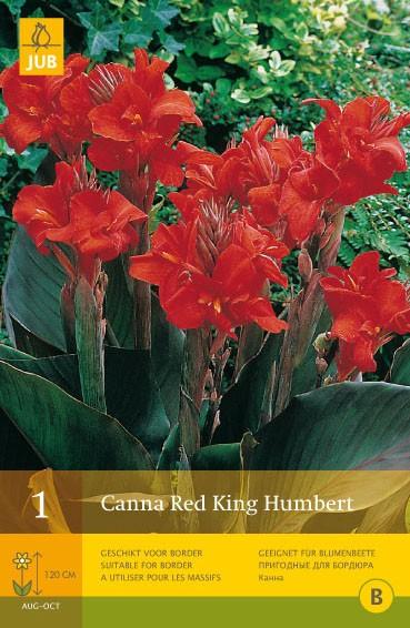 Canna 'Red King Humbert'