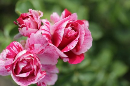 Rosa  'Colibri 2010'