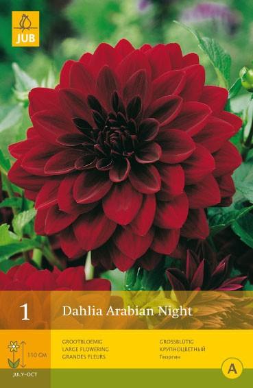 Dahlia 'Arabian Night'