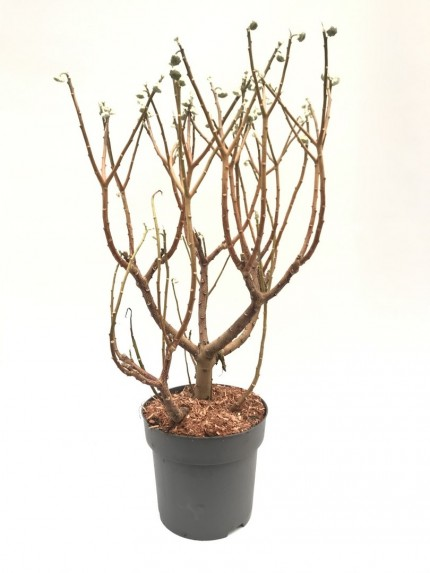 Edgeworthia chrys. Grandiflora