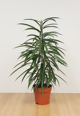 Ficus binnendijkii 'Alli'