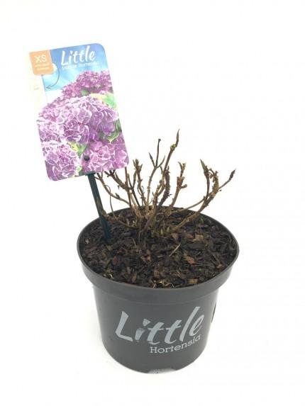 Hydrangea macrophylla Little Purple
