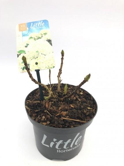 Hydrangea macrophylla Little White