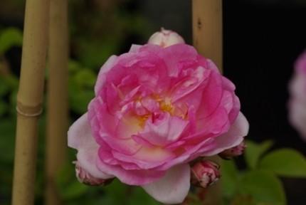 Rosa 'Jasmina'