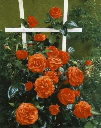 Rosa  'Maintower'