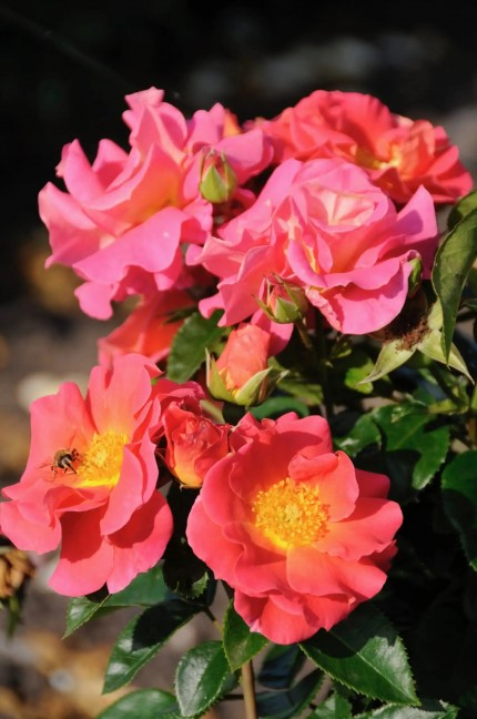 Rosa  'Miss Kate'