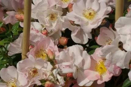 Rosa  'Open Arms'
