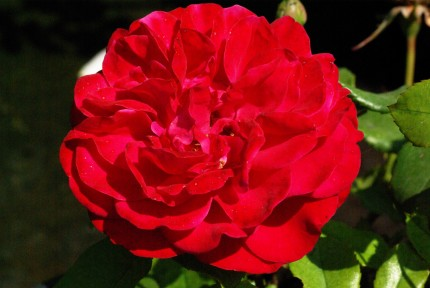 Rosa 'Red Meilove'