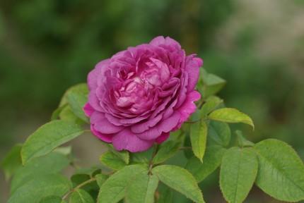 Rosa 'Reine des Violettes'