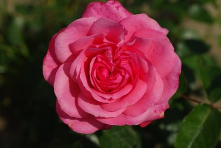 Rosa 'Rosanna'