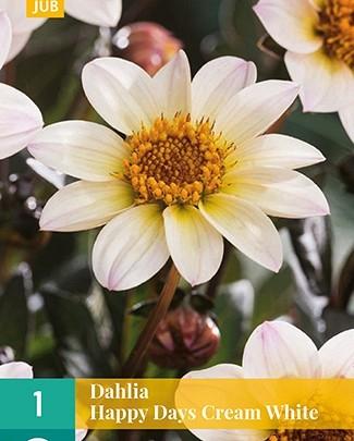 Dahlia 'Happy Days Cream White'