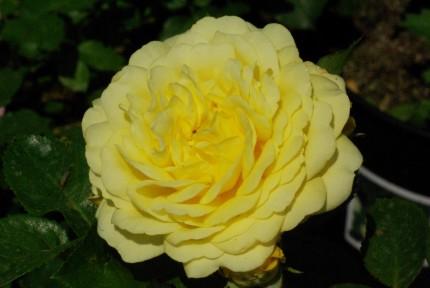 Rosa 'Yellow Meilove'
