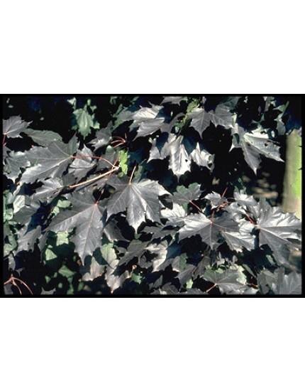 Acer platanoides 'Faass. Black'