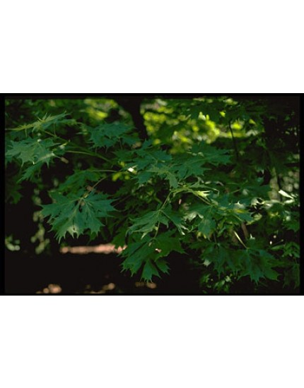 Acer platanoides 'Palmatifidum