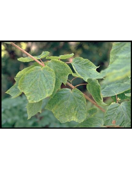 Acer pseudopl. 'Erythrocarpum'