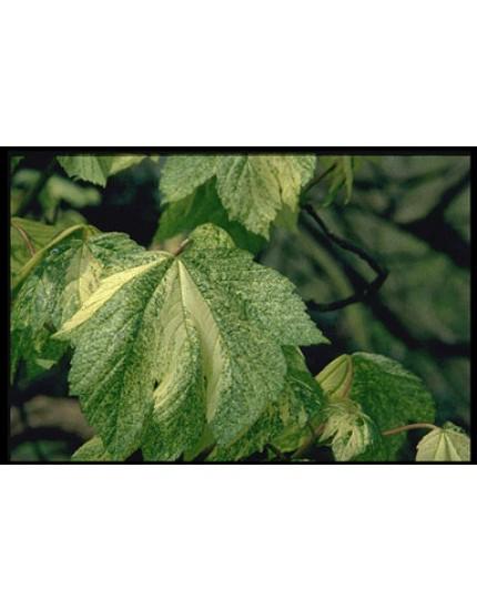 Acer pseudopl. 'Leopoldii'