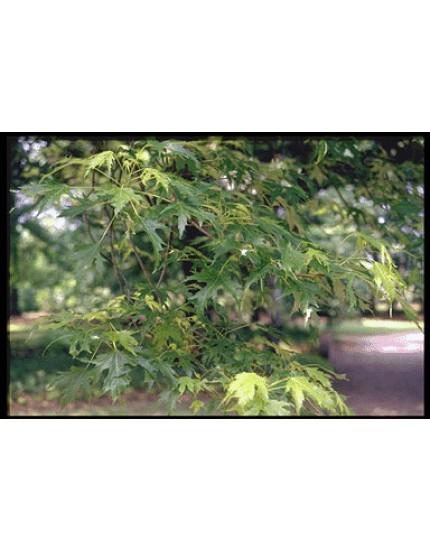 Acer saccharinum 'Asplenifolium'