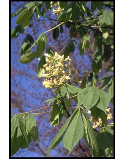 Aesculus carnea 'Plantierensis'