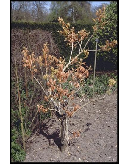 Aesculus neglec. 'Erythroblast