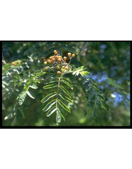 Sorbus commixta