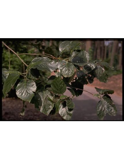 Sorbus devoniensis 'Theophrast