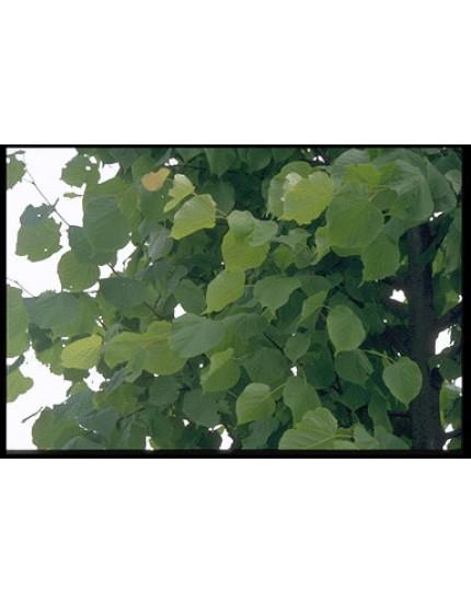Tilia vulgaris 'Pallida'