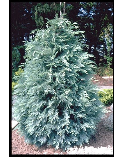 Chamaecyparis lawsoniana 'Pembury Blue'