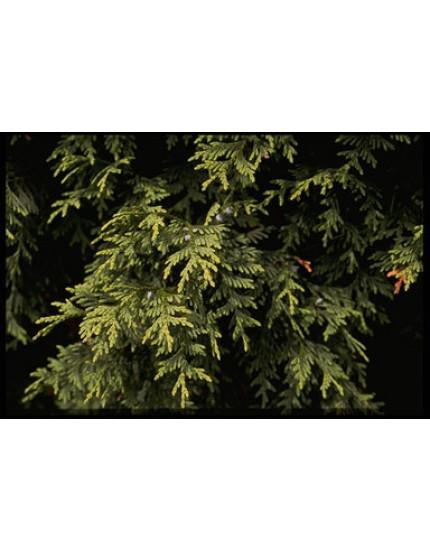 Chamaecyparis nootkatensis 'Aurea'