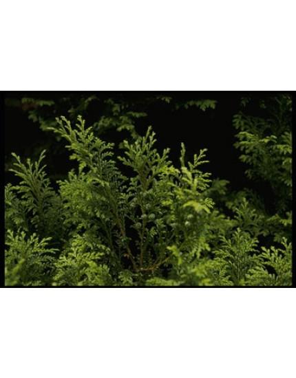 Chamaecyparis pisifera 'Plum. Aurea Compact'