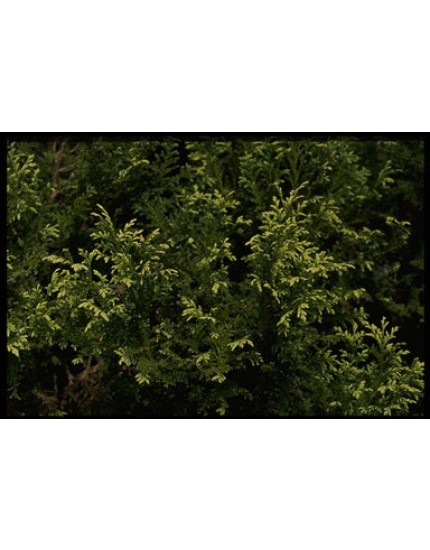 Chamaecyparis pisifera 'Plum. Flavescens'