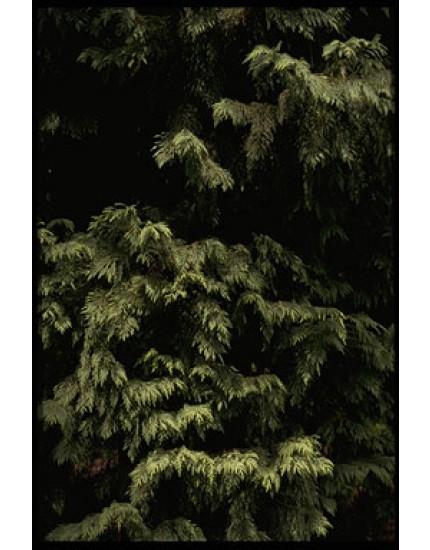 Cupressus leylandii 'Leighton Green
