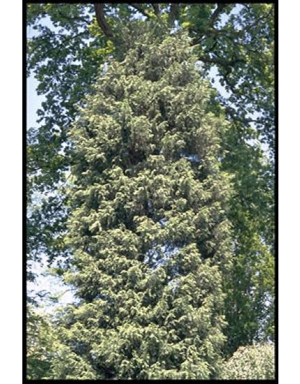 Cupressus leylandii 'Stapehill'