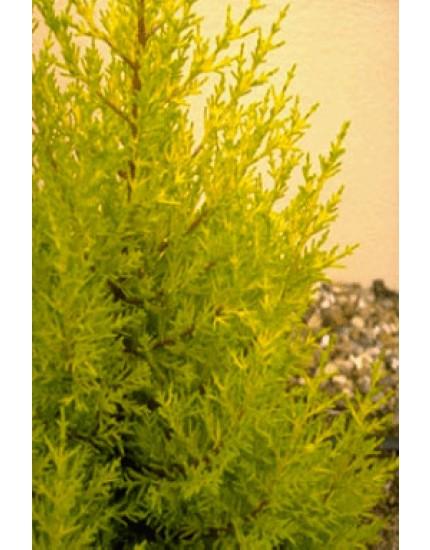 Cupressus macrocarpa 'Goldcres