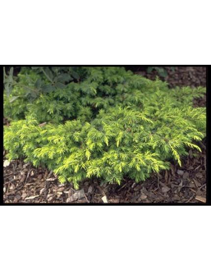 Juniperus communis 'Depressa Aure