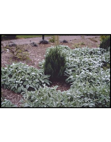 Juniperus communis 'Pyramidales'