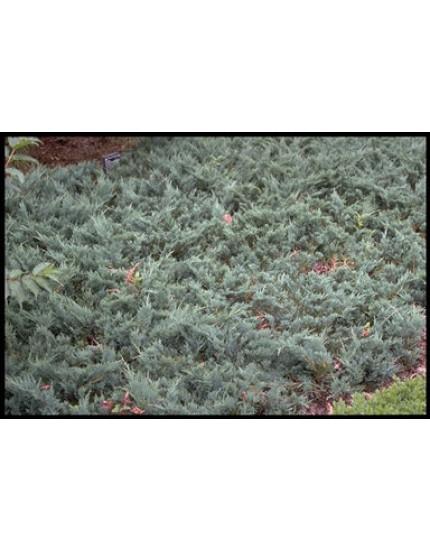 Juniperus horizontalis 'Douglasii