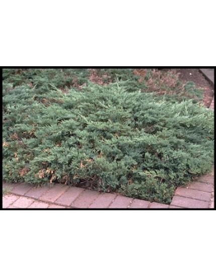 Juniperus horizontalis 'Hughes'