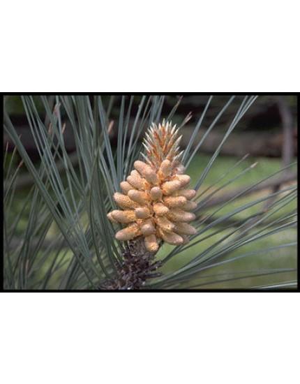 Pinus pinaster