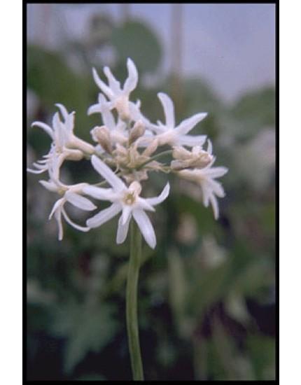 Thulbachia violacea