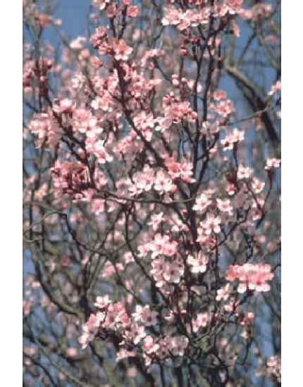 Prunus cerasifera 'Atropurpure